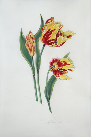 Olympic Flame Tulips on Vellum