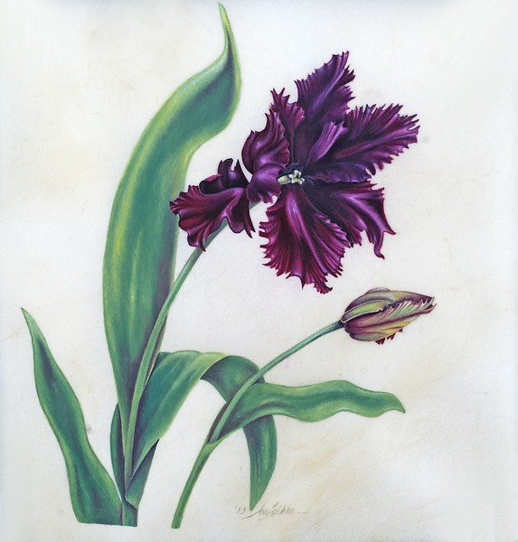 Black Parrot Tulip on Vellum<br>© Anne Feldman