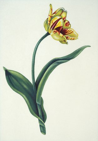 Small Olympic Flame Tulip on Vellum