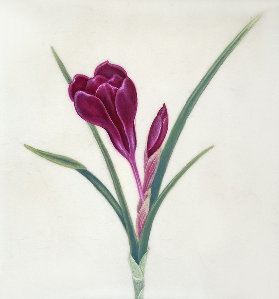 Crocus on Vellum<br>© Anne Feldman