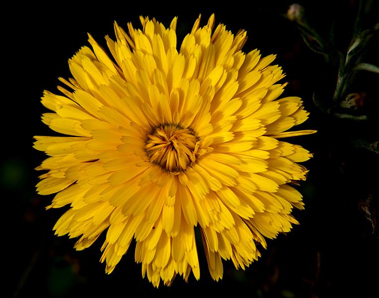 Yellow Calendula officinalis