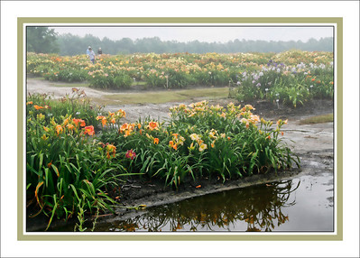"Charlie Mastrovich - ""Misty Morning at the Lily Farm"""