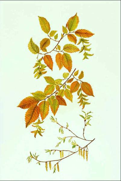 <i>Carpinus caroliniana</i><br>© Cynthia McCormick