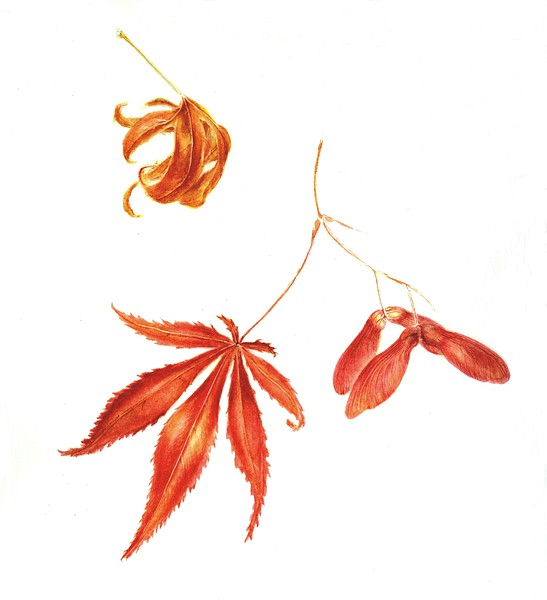 <i>Acer japonicum</i><br>© Cynthia McCormick