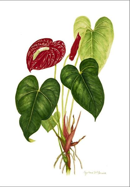 <i>Anthurium andreanum</i><br>© Cynthia McCormick
