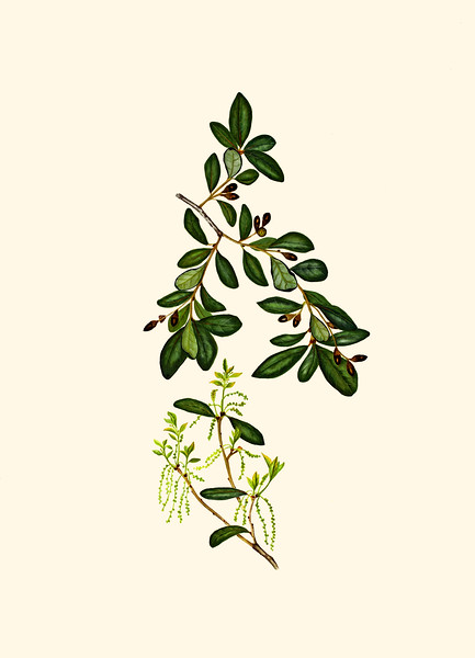 <i>Quercus virginiana</i><br>© Cynthia McCormick