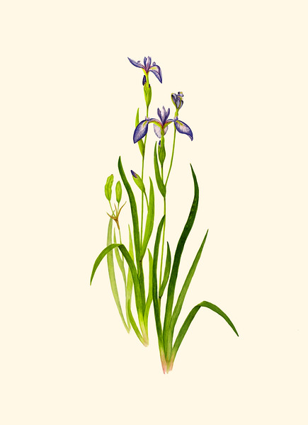 <i>Iris versicolor</i><br>© Cynthia McCormick