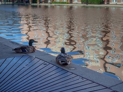 Duck, Duck P6270066