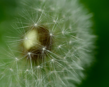 Dandelion Don't Tell No Lies_DSC2715
