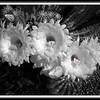866 argentine blk white