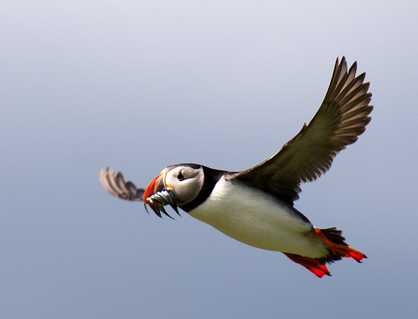 51 Puffin with Sand eels