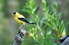 Goldfinch at Zoo (4)