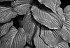 Wet Leaves (7) - Copy