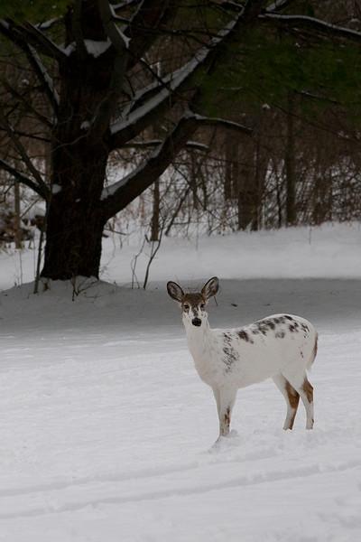 snow deer-s