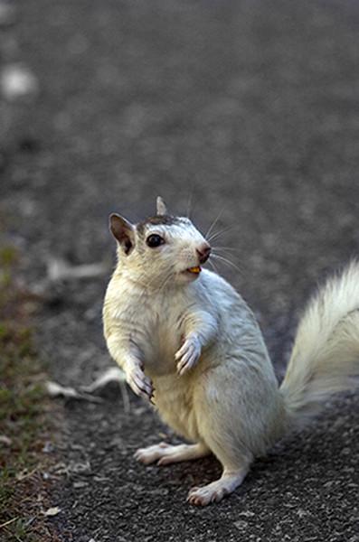 EW- White Squirrel