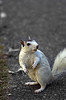 EW- White Squirrel
