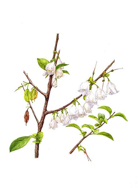 Carolina Silverbell (<i>Halesia tetraptera</i>)<br>watercolor on paper<br>© Elena Maza-Borkland