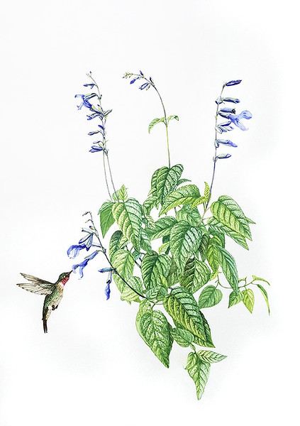 Salvia 'Black and Blue' with Ruby-throated hummingbird (<i>Salvia guaranensis</i> 'Black and Blue')<br>watercolor on paper<br>© Elena Maza-Borkland