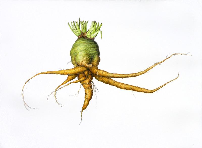 Gnarly Carrot (<i>Daucus carota</i> subsp. <i>sativus</i>)<br>© Elena Maza-Borkland