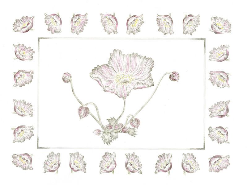 Windflower 2 (<i>Anenome vitifolia</i>)<br>© Elizabeth Whiteley
