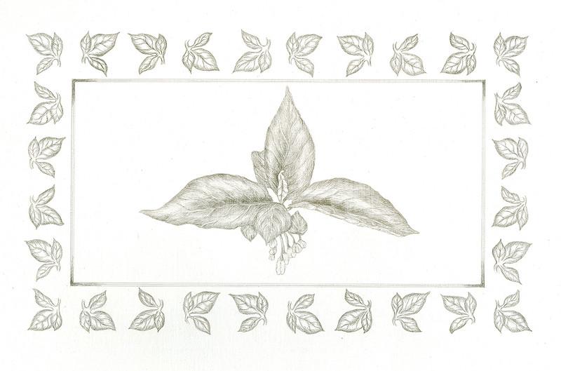 Carolina Silverbells 1 (<i>Halesia carolina</i>)<br>© Elizabeth Whiteley