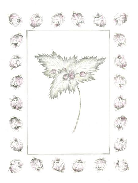 Windflower 1 (<i>Anenome vitifolia</i>)<br>© Elizabeth Whiteley
