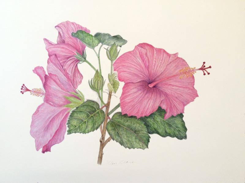 <i>Hibiscus rosa-sinensis</i><br>© Ellen Keane