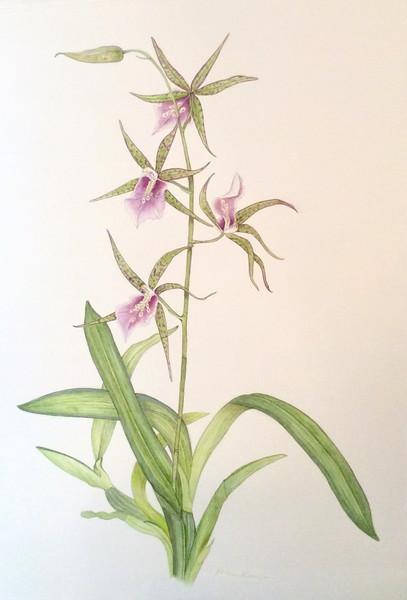 Oncidium Orchid (<i>Aspacia lunata</i>)<br>© Ellen Keane