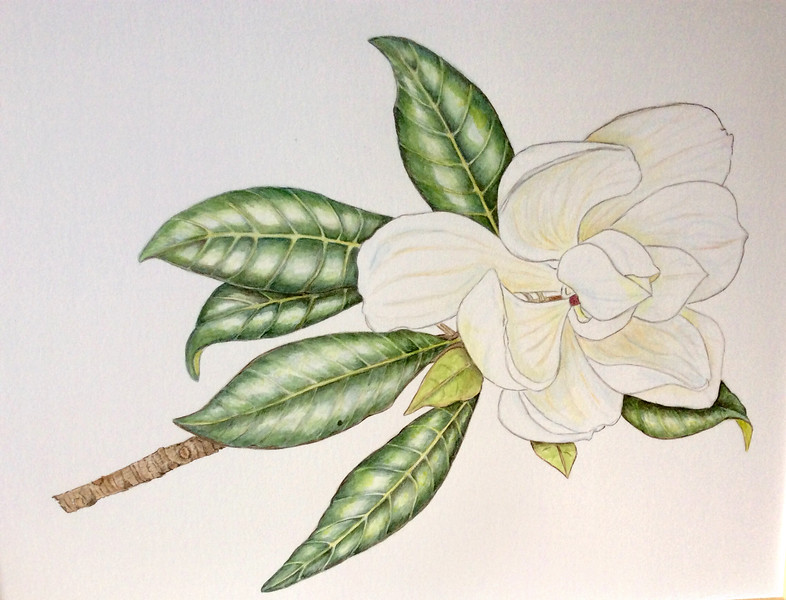 <i>Magnolia grandiflora</i><br>© Ellen Keane