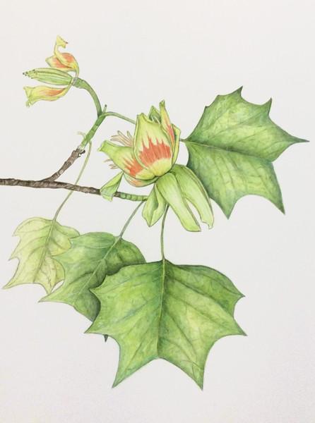 Tulip tree (<i>Liriodendron</i>)<br>© Ellen Keane