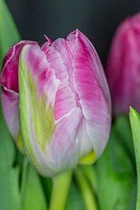 20180805-tulips