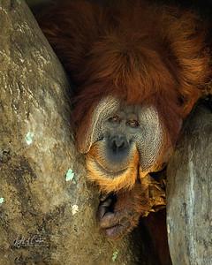 Orangutan Male Bham Zoo-1