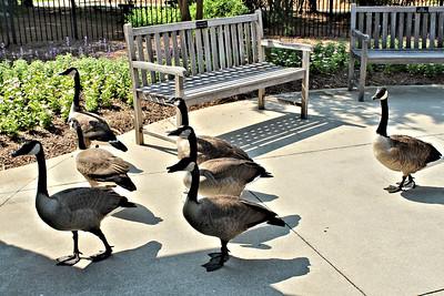 Geese BOT