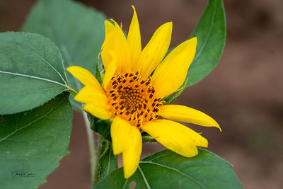 Sunflower-CD-1407