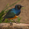 3 Superb Starling by Frank Lodge CPAGB