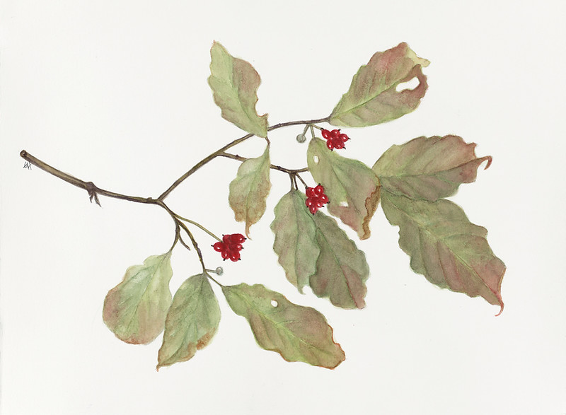 Dogwood in Autumn (<i>Cornus florida</i>)<br>© Gail Goodrich Harwood