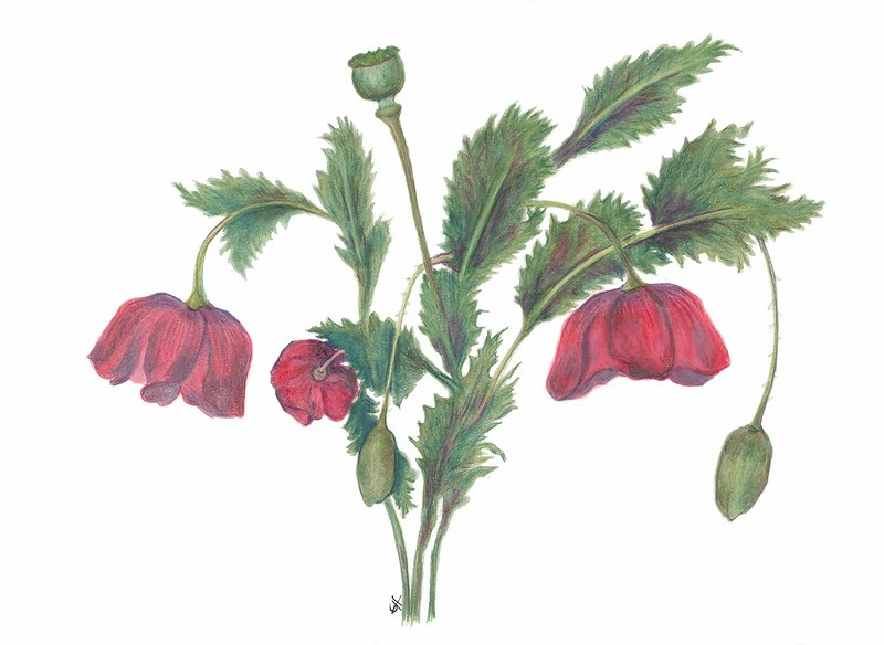 Poppies (<i>Papaver rhoeas</i>)<br>© Gail Goodrich Harwood
