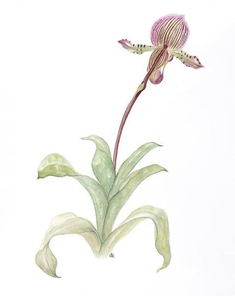 Slipper Orchid (<i>Cypripedium</i>)<br>© Gail Goodrich Harwood