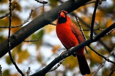 20101101 The Crazy Cardinal