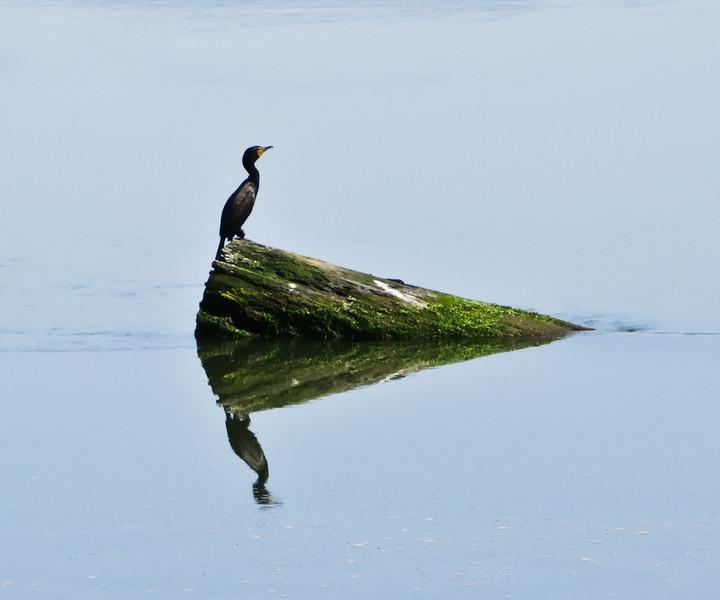 bird reflection-13