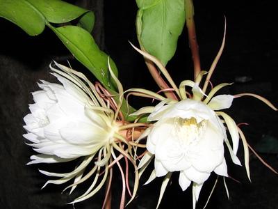 Hank Mattutat  - Night  Blooming  Serias