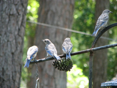 Hank Mattutat - Bluebird Family
