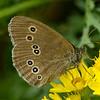 11 Ringlet butterfly 154