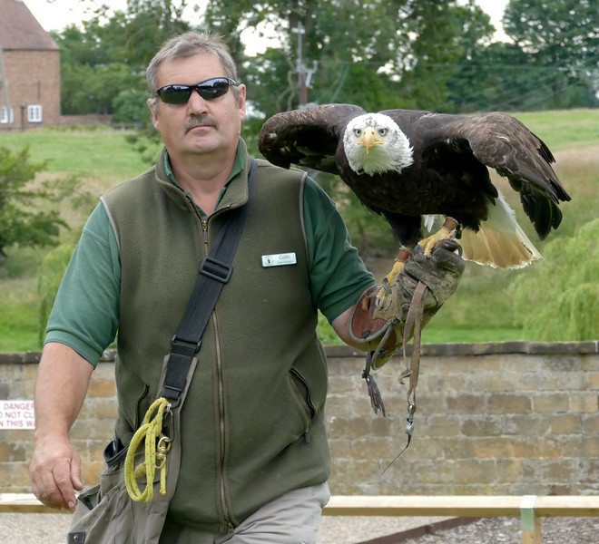 Falconer with bald-headed eagle 152