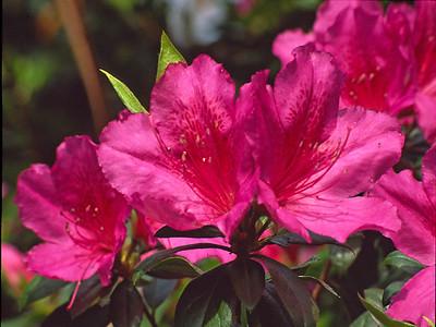 Irene Dowdy - Azalea Blossoms
