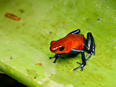 Jerry Koons - Poison Dart Frog