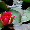 Class 5 - Section E - Natural History - Water Lily
