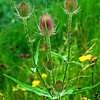 Class 5 - Section E - Natural History - Teasel