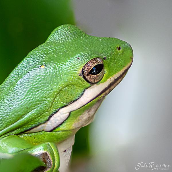 2020, Tree Frogs, Woodlake-9746-Edit