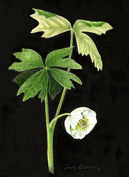 Mayapple (<i>Podophyllum</i>)<br>© Judy Brown